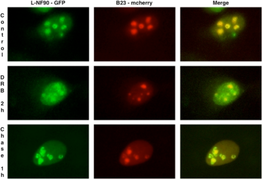 Subcellular distribution of exogenously-expressed L-NF90 isoforms in HeLa cells treated with DRB.Plasmids pEGFP-N1-L-NF90 (L-NF90-GFP) and mcherry-B23 (B23-mcherry) were transfected into HeLa cells. 24 hours later, cells were fixed either immediately (Control, upper panels) or after a DRB treatment during two hours (DRB 2 h, mid panels) followed by a chase of one hour (Chase 1 h, lower panels). GFP and mcherry fusion proteins appear in green and red, respectively.