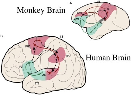 Ventral and dorsal streams for the processing of complex sounds in the primate brain: (A) in the rhesus monkey [modified from Rauschecker and Tian (2000)]; (B) in the human [simplified from Rauschecker and Scott (2009)]. The ventral stream (in green) plays a general role in auditory object recognition, including perception of vocalizations and speech. The dorsal stream (in red) pivots around inferior/posterior parietal cortex, where a quick sketch of sensory event information is compared with an efference copy of motor plans (dashed lines). Thus, the dorsal stream plays a general role in sensorimotor integration and control. In clockwise fashion, starting out from auditory cortex, the processing loop performs as a forward model: object information, such as vocalizations and speech, is decoded in the antero-ventral stream all the way to category-invariant inferior frontal cortex (IFC, or VLPFC in monkeys) and transformed into articulatory representations (DLPFC or ventral PMC). Frontal activations are transmitted to the IPL and pST, where they are compared with auditory and other sensory information. AC, auditory cortex; AL, antero-lateral area; CL, caudo-lateral area; STS, superior temporal sulcus; IFC, inferior frontal cortex; DLPFC, VLPFC, dorsolateral and ventrolateral prefrontal cortex; PMC, premotor cortex; IPL, inferior parietal lobule; IPS, inferior parietal sulcus; CS, central sulcus; pST, posterior superior temporal region. [Composite figure adapted, with permission, from Rauschecker (2011)]