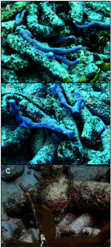 Sponge fragments stabilizing rubble in piles three months post deployment at Sea Aquarium.Sponge fragments inserted into piles grew and adhered to adjacent pieces of rubble in less than three months. A and B. Aplysina cauliformis stabilizing sections of rubble piles. C. Coral rubble stabilization by Aplysina sp.