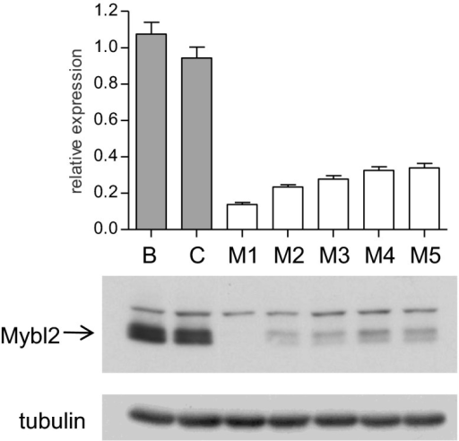 Mybl2 knockdown in 32D cells by a series of shRNAs.Mybl2 knockdown in 32D cells by a series of shRNAs (control shRNAs are labeled B and C; Mybl2-specific shRNAs are labeled M1–M5). Mybl2 expression levels were measured by qRT-PCR normalized to three control genes (upper panel) and by Western blotting with tubulin as a normalization control (lower panel).DOI:http://dx.doi.org/10.7554/eLife.00825.015