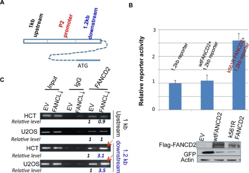 "Inactivated FANCD2 promotes the expression of ΔNp63 via a 1.2 kb DNA fragment downstream of the P2 promoter(A) Schematic representation of 1 kb and 1.2 kb DNA fragments up or downstream of the P2 promoter. (B) Inactivated FANCD2 enhances the 1.2 kb reporter activity. Both the 1.0 kb and 1.2 kb DNA fragments (Fig. 3A) were individually cloned into the upstream of pGL-3-promoter- reporter, named 1 kb or 1.2 kb reporters. Cells showed a higher reporter activity when the 1.2kb reporter was co-transfected with K561R FANCD2 cDNA-containing plasmid. The relative reporter activity was plotted upon photon counts as we did previously. Cells carrying the 1.0kb reporter along with either wt or mtFANCD2 cDNA did not show a noticeable difference in the reporter activity as compared to the 1.0 kb reporter alone (not shown). The results shown are a representative of five independent experiments performed each time in triplicate, and error bars indicate the standard deviation. The transfection efficiency of the reporter assay for pEGFP-Flag-wtFANCD2 or -mtFANCD2 was measured via western blotting analysis with antibodies against GFP (the pEGFP vector produces polycistronic mRNAs encoding non-fusion GFP protein) and Flag-fused FANCD2 protein. (C) The inactivated FANCD2 associates more strongly with the 1.2 kb DNA fragment. Both HCT116 and U2OS sets of stably-transfected cell pairs carrying an intact or impaired FA pathway, respectively (Supplementary Figures 1 and 3 right panel) were used to perform FANCD2 ChIP analysis using primers to bracket DNA fragments 1 kb up or 1.2 kb downstream of the P2 promoter (Figure 3A). (The relative folds were calculated upon the band density measured by NIH image J program with the corresponding bands generated from control cells as ""1"".)"