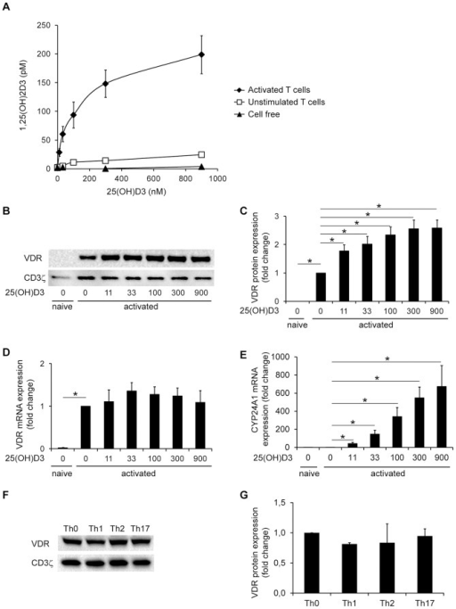 Activated human CD4+ T cells produce 1,25(OH)2D3 and up-regulates VDR expression in the presence of 25(OH)D3.(A) 1,25(OH)2D3 in the supernatants of activated and unstimulated T cells and in cell free cultures incubated with the indicated concentrations of 25(OH)D3. Mean ± SEM (n = 5). (B) Representative Western blot of VDR and CD3ζ (loading control) expression in naïve and activated T cells incubated in the presence of the indicated concentrations (nM) of 25(OH)D3. (C) Relative VDR protein expression as determined by the density of the VDR bands from Western blots of naïve and activated T cells incubated in the presence of the indicated concentrations (nM) of 25(OH)D3. The density of the VDR bands were normalized to the density of the VDR bands of T cells activated in the absence of 25(OH)D3. Mean + SEM (n = 7; * p<0.05). (D) Relative VDR mRNA expression in naïve and activated T cells incubated in the presence of the indicated concentrations (nM) of 25(OH)D3. The VDR mRNA levels were normalized to VDR mRNA levels of T cells activated in the absence of 25(OH)D3. Mean + SEM (n = 4; * p<0.001). (E) Relative CYP24A1 mRNA expression in naïve and activated T cells incubated in the presence of the indicated concentrations (nM) of 25(OH)D3. The CYP24A1 mRNA levels were normalized to CYP24A1 mRNA levels of T cells activated in the absence of 25(OH)D3. Mean + SEM (n = 3; * p<0.05). (F) Representative Western blot of VDR and CD3ζ (loading control) expression in T cells activated for 3 days in the presence of polarizing cytokines and anti-cytokine antibodies as indicated. (G) Relative VDR protein expression as determined by the density of the VDR bands from Western blots of T cells treated as described in F. The density of the VDR bands were normalized to the density of the VDR bands of T cells activated in the absence of polarizing cytokines and anti-cytokine antibodies (Th0). Mean + SEM (n = 2).