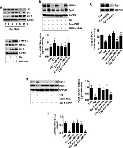 Ciglitazone induces Egr-1 protein expression; silencing of Egr-1 abrogates the effect of ciglitazone on PDK1 promoter activity, protein expression and cell proliferation. A, Cellular proteins were isolated from H1299 cells treated with ciglitazone (20 μM) for the indicated time period (upper panel) or with metformin (5 mM) for 24 h (lower panel). Afterwards, Western blot analyses were performed for detecting Egr-1, p65 and p53 proteins. B, H1299 cells were transfected with control or AMPKα siRNA (80 nM) for 30 h before exposing the cells to ciglitazone (20 μM) for an additional 24 h followed by Western blot. C, H1299 cells were transfected with control or Egr-1 siRNA (80 nM) together with a wild type PDK1 promoter construct for 30 h, then cells were exposed to ciglitazone (20 μM) for an additional 24 h. Insert shows the Western blot result for Egr-1 protein. D, H1299 cells were transfected with control or Egr-1 siRNA (80 nM) for 30 h before exposing the cells to ciglitazone (20 μM) for an additional 24 h, followed by Western blot. E, H1299 cells were transfected with control or Egr-1 siRNA (80 nM) for 30 h before exposure of the cells to ciglitazone (20 μM) for an additional 24 h. Afterwards, the luminescence of viable cells was detected using Cell Titer-Glo Luminescent Cell Viability Assay kit. The bars represent the mean ± SD of at least four independent experiments for each condition. *Indicates significant difference as compared to the control. **Indicates significance of combination treatment as compared with ciglitazone alone (P < 0.05).