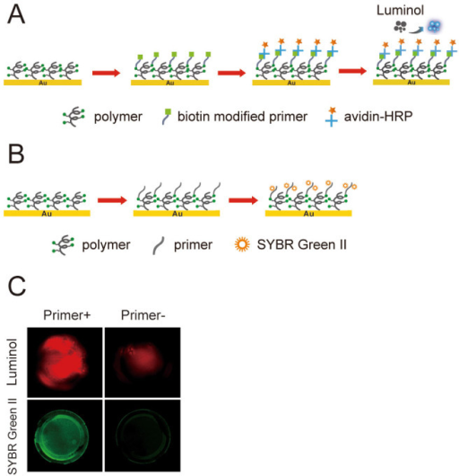 Oligonucleotides Primers Immobilization and Verification.(A) Three steps immobilization of oligonucleotides primers on polymer-coated QCM chips. Step 1: immobilization of biotin modified primers, step 2: immobilization of avidin-HRP, step 3: chemiluminescence. (B) Two steps immobilization of oligonucleotides primers on polymer-coated QCM chips. Step 1: immobilization of amido modified primer, step 2: immobilization of SYBR Green II. (C) Coloration results for (A) and (B).