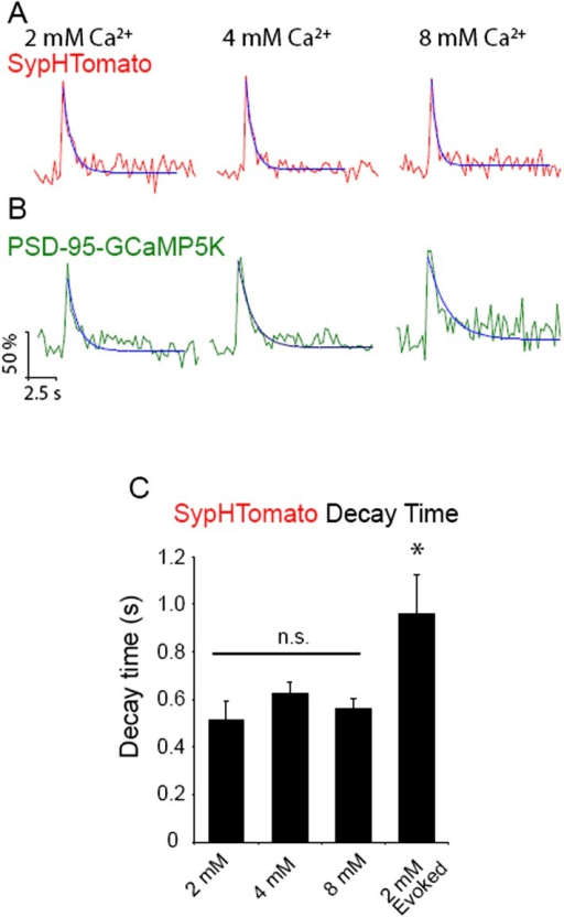 Increasing extracellular Ca2+ does not alter decay time of spontaneous increases in sypHTomato fluorescence.(A) Example average traces of spontaneous increases in sypHTomato fluorescence (red) single experiments in 2 mM (left), 4 mM (middle), and 8 mM (right) extracellular Ca2+ with decay time fit in blue. (B) Example average traces from the same experiments as A of PSD-95-GCaMP5K events (green) that correspond with sypHTomato spontaneous increases in fluorescence in 2 mM (left), 4 mM (middle), and 8 mM (right) extracellular Ca2+ with decay time fit in blue. (C) Decay time does not change as a function of extracellular Ca2+, however increases in fluorescence due to stimulation are slower to decay than spontaneous increases in fluorescence (p < 0.05 One-way ANOVA with Bonferroni post hoc analysis).DOI:http://dx.doi.org/10.7554/eLife.03658.008