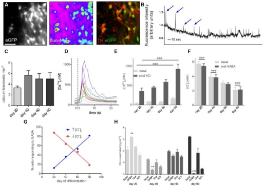 Functional characterization of PITX3eGFP/w neurons reveals development of maturity during terminal differentiation.(A) Ca2+ and Cl- imaging was employed to probe the function of PITX3eGFP/w neurons. These panels show, from left to right, eGFP in a field of view prior to imaging, the Ca2+ -sensitive probe Fluo-4 loaded into cells of the same field, and TH and eGFP after post-imaging immunocytochemistry. (B) Shows a representative trace from a Ca2+ imaging experiment. Spontaneous oscillations of [Ca2+]i, typical of in vitro mDA neurons are highlighted by arrows. The y-axis represents change in fluorescence: baseline fluorescence (ΔF/F). (C) The frequency of these oscillations did not change significantly by day 80 (one-way ANOVA with post hoc Dunnett's test, indicates p > 0.05, n = 3 wells, 60–80 cells). (D) Intracellular calcium ion concentration ([Ca2+]i) in PITX3eGFP/w neurons was calculated at rest and after stimulation with KCl (30 mM). (E) Basal and KCl-induced elevations of [Ca2+]i increased during differentiation (one-way ANOVA with post hoc Dunnett's test, ∗∗∗ indicates p < 0.001, n = 3 experiments, 40–80 cells). (F) Similarly, GABA (30 mM) decreased [Cl-]i at day 20 and 40 of differentiation, by day 80 GABA induced a significant increase in [Cl]i (Student's paired t-test, ∗∗∗ indicates p < 0.001, n = 4, 60–80 cells). (G) By day 80 most PITX3eGFP/w neurons respond to GABA with an elevation of [Cl-]i (blue; R2 = 0.99), rather than the decrease seen at earlier days of differentiation (red; R2 = 0.99). (H) Shows the change in dopamine concentration in the supernatant of eGFP+ cultures following vehicle addition (i.e., basal level), GABA (30 mM), l-glutamate (30 mM) or KCl (30 mM) at different days of culture. Dopamine release in response to GABA (30 μM), but not l-glutamate or KCl significantly decreased from days 20 to 80 of differentiation (one-way ANOVA with post hoc Dunnett's test compared to day 20, ∗∗, ∗∗∗ indicates p < 0.01 and 0.001, respectively, n = 3 wells).