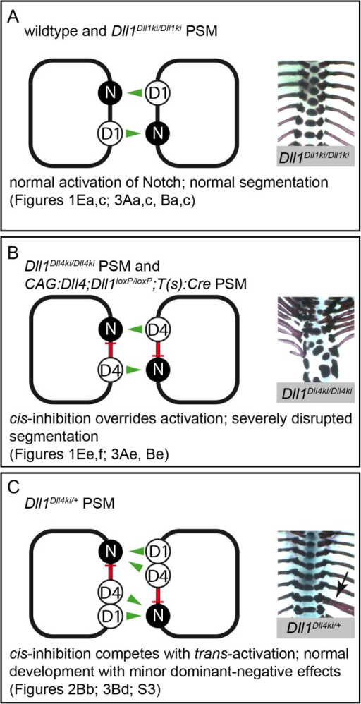 Model of Notch signalling in the PSM triggered by DLL1 and ectopic DLL4.Summary combining our in vivo and in vitro data in three different genetic scenarios (A-C); trans-activation (green arrows) and cis-inhibition (red bars) in cells of the PSM are schematically depicted on the left, representative skeletal preparations to visualise the outcome of somitogenesis are shown on the right; references to Figs. in this paper are given below. (A) In wildtype and Dll1Dll1ki/Dll1ki PSMs, endogenous or transgenic DLL1 (D1) trans-activates Notch (N) signalling and results in a regularly segmented axial skeleton. (B) In our in vitro assays, DLL4 (D4) trans-activates Notch with similar efficiency as DLL1 but has an additional strong cis-inhibitory effect on Notch signalling that partially overrides trans-activation. The reduced net Notch activation in Dll1Dll4ki/Dll4ki and CAG:Dll4;Dll1loxP/loxP;T(s):Cre PSMs is insufficient to support normal segmentation. (C) When both DLL1 and DLL4 are expressed (Dll1Dll4ki/+ PSM), cis-inhibition by DLL4 plays a relatively smaller role, the resulting axial skeletons are mostly regular. However, cis-inhibition by DLL4 reduces the robustness of Notch signalling resulting in minor malformations (arrow indicates a misplaced rib), which are consistently seen in Dll1Dll4ki/+ skeletons.