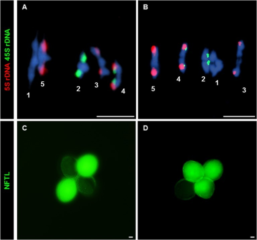 CO and NCO measurements: Chiasma and GC scoring by FISH and NFTLs.(A, B) FISH using 5S (red) and 45S (green) rDNA probes for chromosome identification and chiasma scoring. (A) WT metaphase I. (B) Atfas1-4 metaphase I. Four ring bivalents (with at least one chiasma in both arms) and one rod bivalent (chromosome 3) are observed. (C, D) Two different examples for the GC test loci using NFTL. (C) Tetrad without GC (2:2). (D) Tetrad with GC (3:1). Bars = 5 µm.