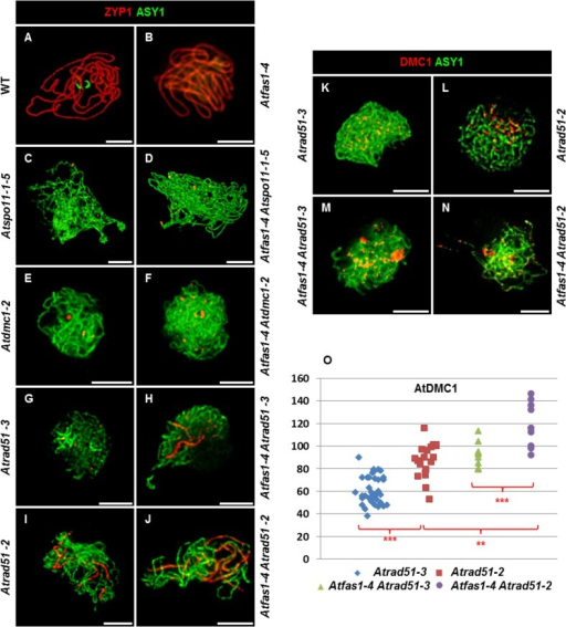 AtRAD51 and AtDMC1 could play different roles in the synaptic process.(A-J) Dual immunolocalization of AtASY1 (green) and AtZYP1 (red) on (A) WT, (B) Atfas1-4, (C) Atspo11-1-5, (D) Atfas1-4 Atspo11-1-5, (E) Atdmc1-2, (F) Atfas1-4 Atdmc1-2, (G) Atrad51-3, (H) Atfas1-4 Atrad51-3, (I) Atrad51-2 and on (J) Atfas1-4 Atrad51-2. Dual immunolocalization of AtASY1 (green) and AtDMC1 (red) on (K) Atrad51-3, (L) Atrad51-2, (M) Atfas1-4 Atrad51-3, and on (N) Atfas1-4 Atrad51-2. Bars = 5 µm. (O) Dispersion diagram for the total foci per nucleus in Atrad51-3 (blue), Atrad51-2 (red), Atfas1-4 Atrad51-3 (green), and Atfas1-4 Atrad51-2 (purple) PMCs are indicated. Each dot is the count from a single nucleus. P values are from two-sided Wilcoxon Mann-Whitney tests (**P < 0.01; ***P < 0.001).