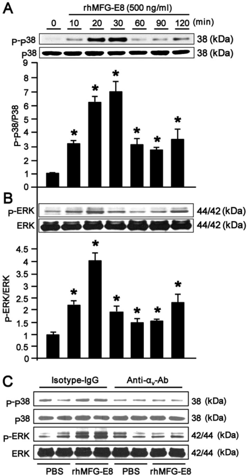 Recombinant human milk fat globule-epidermal growth factor-factor 8 (rhMFG-E8) activates mitogen-activated protein (MAP) kinases through αvβ3-integrin. (A and B) Differentiated HL-60 cells (1.5×106/ml) were placed into 1.5 ml microfuge tubes with Opti-MEM and then stimulated with rhMFG-E8 (500 ng/ml) for different periods of time. Following incubation, the cell lysates were harvested and subjected to western blot analysis using monoclonal antibodies for phospho and total p38 and ERK. Results are normalized with total p38 and ERK as loading control and are expressed as the fold induction in comparison to the 0 min time point. Data are expressed as the means ± SE (n=3 samples/group), obtained from 3 independent experiments.*P<0.05 vs. 0 min. (C) A total of 1.5×106 dHL-60 cells was placed into 1.5 ml microfuge tubes containing 1 ml of Opti-MEM. The cells were then pre-treated with 1 µg/ml of each of the IgG isotype control or anti-αv-integrin neutralizing antibody for 1 h at 37°C. The cells were then stimulated with rhMFG-E8 (500 ng/ml) or PBS for 30 min and then subjected to western blot analysis using antibodies for p-p38, and ERK, and total p38 and ERK. Representative blots obtained from 3 independent experiments are shown. *P<0.05 vs. 0 min.