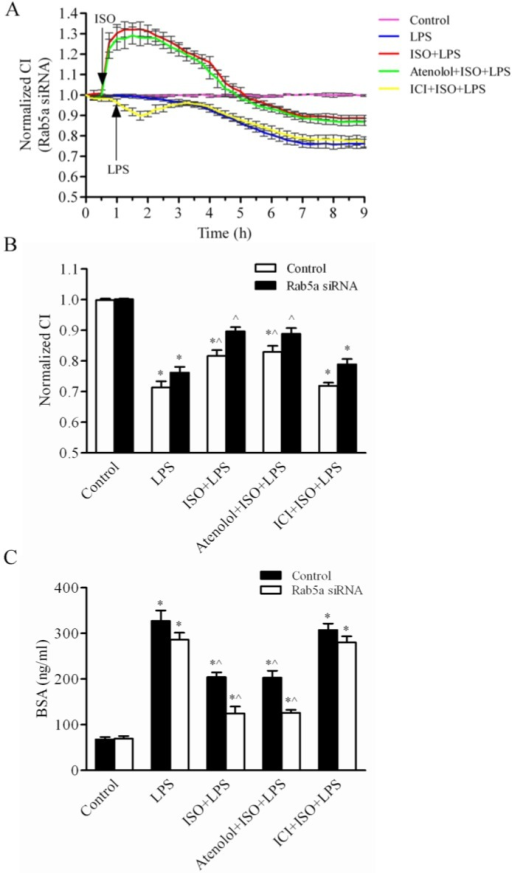 Rab5a-mediated β-AR trafficking protects the LMEC permeability from LPS injury. (A) The LMEC barrier function (CI) was enhanced by the activation of β-ARs. After transfection with Rab5a siRNA for 48 h, the LMECs were pretreated with vehicle, atenolol or ICI118,551 for 1 h; with ISO, atenolol plus ISO or ICI118,551 plus ISO for 0.5 h, and then stimulated with or without LPS (10 μg/ml) at time 1 h. The responses of the LMECs were monitored with the iCELLigence System. The data are expressed as the means ± S.E. from three individual experiments. (B) Quantitative analysis of the normalized CI values of LMECs after the LPS challenge for 6 h. The data are expressed as the means ± S.E., n = 3. *p< 0.05 versus the LMEC control group; ^p< 0.05 versus the LMECs treated with LPS alone group. (C) Rab5a siRNA inhibited LPS-mediated the monolayer hyperpermeability of LMECs. The LMECs were grown to confluence on 0.4-μm polyester membranes in the upper chambers of coculture wells and transfected with control or Rab5a siRNA for 48 h. The cultures were pretreated with ISO, ISO plus atenolol, ISO plus ICI118,551 or vehicle, and then subjected to LPS (10 μg/ml) for 6 h. Biotin-BSA (500 μg/ml) was added to the upper chamber wells. Aliquots of the lower chamber media were aspirated at 0.5 h after treatment. The biotin-BSA concentrations in the media were determined via an enzyme-linked immunosorbent assay. The data are expressed as the means ± S.E., n = 4. *p< 0.05 versus the LMEC control group; ^p< 0.05 versus the LMECs treated with LPS alone group.
