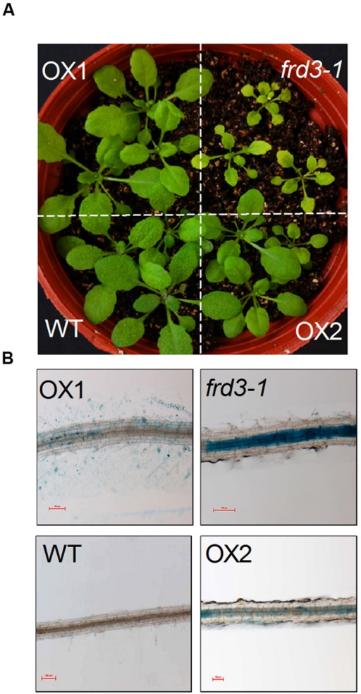 In planta complementation assay of VuMATE1 in Fe nutrition in Arabidopsis mutant frd3-1 driven by 35S CaMV promoter. (A) Phenotype analysis of leaf chlorosis in WT, frd3-1, and two transgenic lines overexpressing VuMATE1 (OX1 and OX2). (B) Root ferric precipitation of WT, frd3-1, and two transgenic lines overexpressing VuMATE1 (OX1 and OX2). Bar, 100 μm.