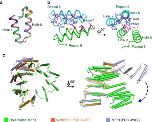 Structural plasticity of U8C2.(a) All dPPR repeats of dPPR-U8C2 exhibit a nearly identical conformation. Each repeat is organized into two helices (a and b) followed by a short loop. (b) The contact between adjacent dPPR repeats is primarily mediated by van der Waals interactions. Repeats 5 and 6 from dPPR-U8C2 are coloured cyan and green, respectively. Two perpendicular views are presented, with amino acids that participate in the interaction shown in violet and magenta at repeats 5 and 6, respectively. (c) RNA-bound dPPR-U8C2 exhibits a more compressed conformation than RNA-free cPPR and synthPPR3.5. The three structures are superimposed using the first PPR repeat of each protein, and dPPR-U8C2, cPPR and synthPPR3.5 are coloured green, light blue and orange. The blue dashed arrow indicates the conformational differences between dPPR-U8C2 and cPPR.