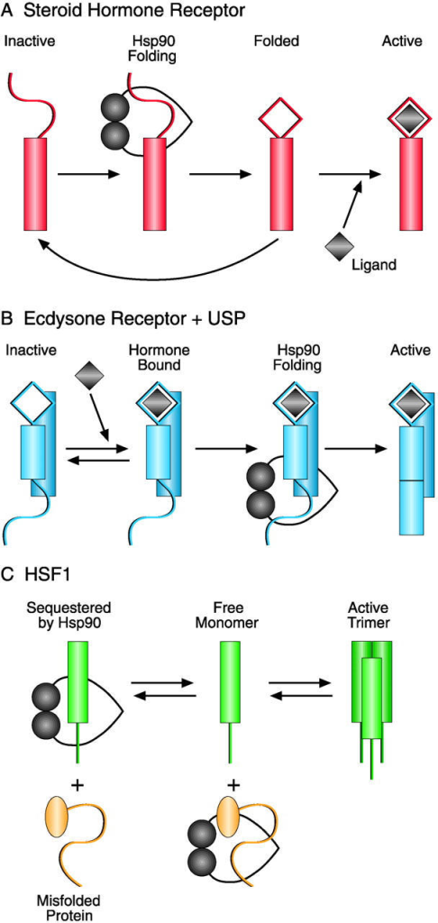 Different modes of Hsp90 action in signaling pathways. (A) Inactive steroid hormone receptors are folded by the Hsp90 machinery. Folded receptors either are stabilized and activated by hormone binding or remain unstable and are rebound by chaperones (Smith, 1993; Pratt and Toft, 1997). (B) Ecdysone receptor with its partner USP can bind hormone but requires folding by the Hsp90 machinery to become active for DNA binding (Arbeitman and Hogness, 2000). (C) Monomeric HSF1 is sequestered by Hsp90. Under stress conditions, misfolded proteins compete for Hsp90, and HSF1 is displaced from Hsp90 and can form the active trimer (Zou et al., 1998).