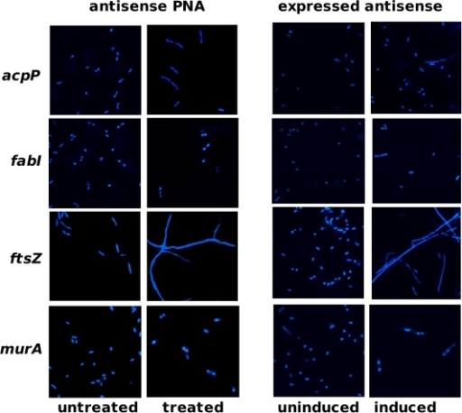 Effect of gene silencers on cell morphology.Cells were stained with DAPI before fluorescent microscopy. Left panel: AS19 untreated or treated with antisense PNA Ec108 (20 nM) targeting acpP, Ec107 (80 nM) targeting fabI, Ec326 (70 nM) targeting ftsZ or Ec330 (55 nM) targeting murA. Gross elongation of cells was observed only in cultures treated with ftsZ-specific PNA, Ec326. Right panel: TOP10 clones uninduced or induced with IPTG for antisense RNA expression. Concentrations of IPTG used for induction of acpP-, fabI-, ftsZ- and murA-antisense expression were 160 µM, 130 µM, 80 µM and 80 µM, respectively. Cells expressing ftsZ-antisense were grossly elongated compared to other cells.