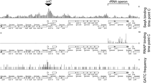 SeqA binding is reduced in rRNA operons. The figure shows ChIP-chip data for SeqA and RNA polymerase binding close to the replication origin and the rrnC rRNA operon. The data were generated from synchronized cultures of E. coli where chromosome replication had been reinitiated in synchronicity for a period of 6 min. The ChIP-chip data sets have been aligned with a graph showing the locations of and frequencies at which GATC sites occur in the underlying DNA sequence.