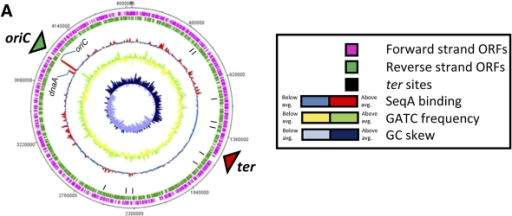 Genome-wide view of SeqA binding at different points in the cell cycle. The figure shows ChIP-chip data for SeqA binding plotted against features of the E. coli genome in the form of a genome atlas. (A) SeqA binding signal generated using unsynchronized cultures of E. coli (time point A); (B) SeqA binding after chromosome replication had been blocked for 1 h (time point B); (C) SeqA binding in cultures where chromosome replication had been reinitiated in synchronicity for a period of 6 min.