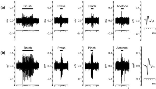 Representative raw data trace of wide dynamic range neurons. Example raw data used to construct a histogram of the stimulus-response to brush (10 second stimulus), pressure (2 second stimulus) and pinch (2 second stimulus) of an individual wide dynamic range neuron in a naïve mouse (a) or 2 days after the final dose of oxaliplatin 3.5 mg/kg/iv in the fourth week (b). The waveforms to the right of each trace show a representative spike that was analyzed.