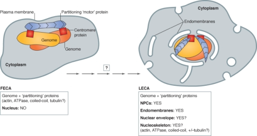 "Proposed incremental transition from FECA (no nuclear structure) to LECA (nucleus). The first eukaryotic common ancestor (FECA) is proposed to have lacked nuclear structure. Partitioning of the duplicated genome (yellow/orange) is proposed to be mediated by the polymerization of protein(s) related to bacterial par ""motors"" (blue; e.g., actin; ATPase; tubulin; DNA-binding coiled-coil protein), bound to centromere proteins (red squares). Over significant time, the FECA is proposed to have given rise to the last eukaryotic common ancestor (LECA), a cell with fully functional NPCs (not depicted) and endomembranes (Neumann et al., 2010) and, we suggest, a nucleoskeleton that included components involved in genome partitioning. After the LECA, further evolution of nuclear structure followed different pathways as seen in the six living eukaryotic supergroups (Hampl et al., 2009; see Fig. 3)."