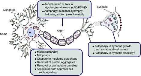 Figure 1:Neuronal autophagy and neurodegenerative diseases ...