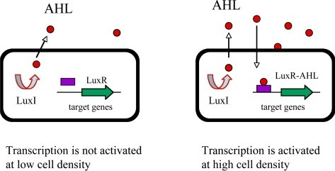 The LuxI/LuxR–type quorum sensing in Gram-negative bacteria. The LuxI-like protein is an autoinducer synthase that catalyzes the formation of a specific acyl-homoserine lactone (AHL). The AHL freely diffuses through the cell membrane at high cell density. The LuxR is a transcriptional regulator that binds to the diffusing AHL and in turn activates the transcription of its target genes.
