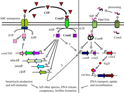 A schematic diagram indicating two types of signaling peptide-mediated quorum-sensing systems in Gram-positive bacterium, S. mutans. The ComCDE quorum-sensing system primarily regulates production of bacteriocins and bacteriocin self-immunity proteins, while the newly identified ComRS quorum-sensing system proximally controls competence development via the control of sigX that encodes an alternative sigma factor, SigX (ComX). CSP is ComC signal peptide; XIP is mature sigX-induced peptide. Opp/Aml is an ABC transporter (peptide importer).