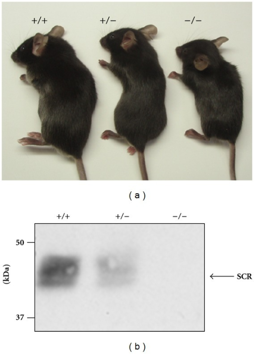 Inhibition of SCRAPPER protein expression in Scrapper-knockout (SCR-KO) mice. (a) Appearance of SCR-KO mice (Yao et al. [1], with permission from Elsevier). (b) Western blot analysis of SCRAPPER in wild-type (WT) or SCR-KO mouse hippocampus. Five microgram of protein in the hippocampal homogenate was applied to each lane and immunoblotted by the anti-SCRAPPER antibody. The SCRAPPER signal was not observed for SCR-KO mice. +/+, WT; +/−, heterozygote; −/−, homozygote SCR-KO mice.