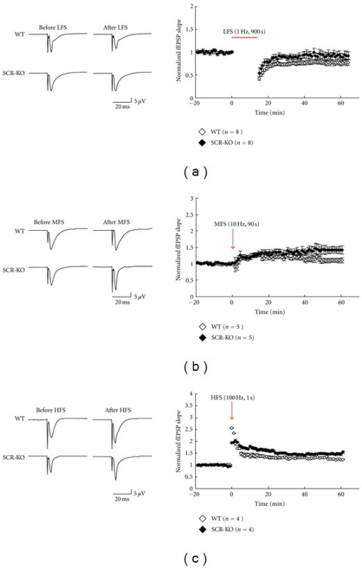 Long-term potentiation/depression (LTP/LTD) induction by stimulation at different frequencies in wild-type (WT) or Scrapper-knockout (SCR-KO) hippocampal slices. Left column: records of representative experiments in which LTP/LTD was induced. Low-frequency stimulation (LFS, 1 Hz, 900 s) (a), middle-frequency stimulation (MFS, 10 Hz, 90 s) (b), or high-frequency stimulation (HFS, 100 Hz, 1 s) (c) was used as the input. Right column: normalized means (± standard error of the mean (SEM)) of field excitatory postsynaptic potential (fEPSP) slopes from WT or SCR-KO hippocampal slices. Each point represents a single measure of the initial slope of the population excitatory postsynaptic potentials (EPSPs) evoked by stimulation of the Schaffer collaterals at 1/60 Hz. The horizontal bar or the arrow represents the period of stimulation. The number of mice, n = 8, 5, and 4 in (a), (b), and (c), respectively. (◊, WT; ◆, SCR-KO).