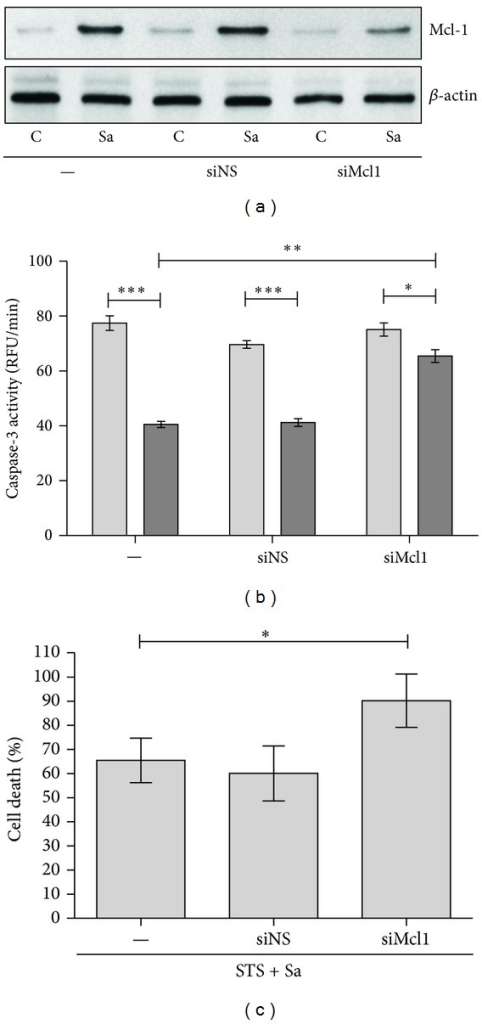 Effect of Mcl-1 expression on cytoprotection induced by S. aureus in hMDMs. (a) Human macrophages were treated with an MCL1 siRNA (siMCL1) or a nonspecific siRNA (siNS). At 24 h following transfection macrophages were infected with S. aureus at an MOI 1 : 50. After additional 24 h cells were collected and Mcl-1 expression was detected by immunoblot. Data are representative of three separate experiments using hMDMs derived from different donors. (b) The increase in caspase-3 activity (RFU/min) induced by STS in MCL1 knockdown macrophages infected with S. aureus. Twenty-four hours after treatment with siRNA, hMDMs were infected with S. aureus (24 h), followed by treatment with STS at a concentration of 1 μM for 18 h. The measurement of caspase-3 activity (RFU/min) in cell lysates was performed using DEVD-AFC as a substrate. The figure is representative of three experiments, using hMDMs cultures obtained from different donors. Light bars—STS, dark bars—Sa + STS. Data represent means ± SD. *P < 0.05; **P < 0.01; ***P < 0.001. (c) Increased susceptibility to the cytotoxic effects of staurosporine (STS) in MCL1 knockdown macrophages infected with S. aureus. Twenty-four hours after treatment with siRNA, hMDMs were infected with S. aureus (24 h), followed by treatment with STS at a concentration of 1 μM for 24 h. Plasma membrane permeabilisation or cell lysis induced in the hMDMs was assessed by measuring LDH activity in the culture medium. LDH activity in the media of cells treated only with STS was arbitrarily set as 100%. Results were calculated based on data (± SD) from three separate experiments. *P < 0.05.