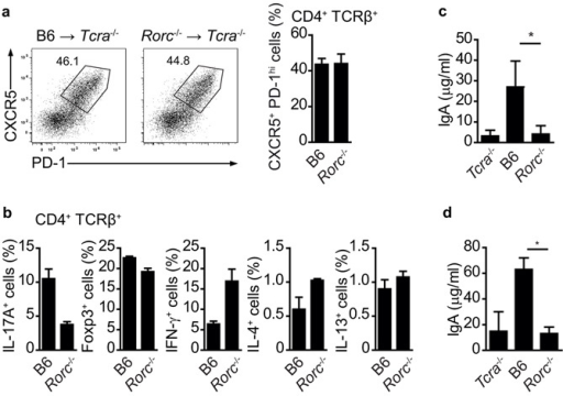 Cholera toxin specific IgA response requires TH17 cellsa) Flow cytometry of PP CD4+ T cells from Tcra−/− mice three months after reconstitution with C57Bl/6 (B6) or Rorc-deficient (Rorc−/−) bone marrow 10 days after cholera toxin challenge, showing expression of CXCR5 and PD-1. b) Proportion of PP CD4+ T cells expressing Foxp3 or producing indicated cytokines in Tcra−/− mice three months after reconstitution with C57Bl/6 or Rorc-deficient bone marrow 10 days after cholera toxin challenge. c, d) ELISA quantification of serum (c) and feces (d) cholera toxin-specific IgA in Tcra−/− and Tcra−/− mice three months after reconstitution with C57Bl/6 or Rorc-deficient bone marrow 10 days after cholera toxin challenge. Mean values +/− SEM for four individual mice are shown. *, p-value ≤ 0.01.
