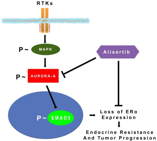 Model of endocrine resistance and breast cancer progression.Aberrant activation of MAPK signaling stabilizes and activates Aurora-A kinase that in turn induces down-regulation/loss of ERα expression through phosphorylation and activation of SMAD5 nuclear signaling leading to endocrine resistance and tumor progression.