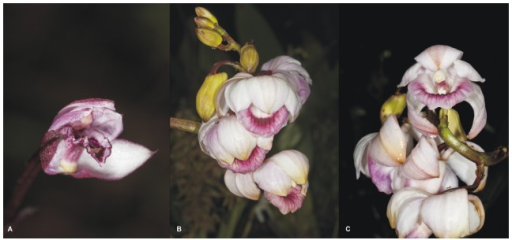 Flowers of Vargasiella peruviana (A) and Warrea warreana (B-C).Photos: T. Kusibab.