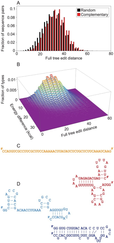 Characteristics of secondary structures of complementary strands.The characteristics of minimum free energy secondary structures are measured on a sample of 107 randomly generated sequences of length 50. In case of complementary strands, the complementary sequences of the randomly generated strands are also analyzed. (A) Complementary strands have higher full tree edit distance between them (red bars) than random sequence pairs (black bars). (B) Energy difference between members of pairs of complementary, folded strands. Around tree edit distance 30 most complementary, folded structures have negligible energy difference, but a decreasing proportion of pairs show a difference of up to 40 kcal. (C) Example of a complementary pair of strands in which one of the strands does not have a structure, while the other has a rich structure. The difference of their minimum free energies is (6.6 kcal). (D) Example of a complementary pair of strands in which the two strands have very different (tree edit distance 68) but still rich structures. The difference of their minimum free energies is (7.0 kcal).