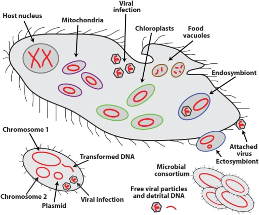 Schematic representation of the various types of DNA molecules (in red) and their occurrence inside and outside of eukaryotic (top) and bacterial (bottom) cells.