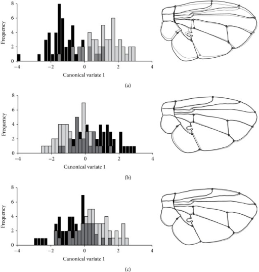 Histograms of the first canonical variate axis (CV1) for males C. capitata groups with (black bars and lines, accepted for copulation) and without (gray bars and lines, rejected for copulation) successful copulation using wings' shapes data, in (a) wild, (b) irradiated, and (c) irradiated and treated with ginger oil individuals. The comparison of the wings' morphology from warped outlines is at the right side of each group.