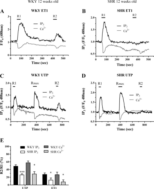 Assessment of ET1 and UTP-stimulated PLC signaling desensitization in SHR and WKY MSMC from 12-wk-old animals. MSMC were transfected with eGFP-PH (0.5 μg) before being subjected to the following desensitization protocols: For ET1, MSMC were stimulated with ET1 (50 nM, 30 s; R1); with 5 min washout before a second challenge (50 nM, 30 s; R2), while for UTP, MSMC were challenged with a ∼EC50 UTP concentration (10 μM) for 30 s before (R1) and after (R2) addition of a maximal UTP concentration (Rmax: 100 μM, for 1 min). Representative traces are shown from single cells isolated from WKY (A and C) and SHR (B and D) treated with either ET1 (A and B) or UTP (C and D). Receptor desensitization was determined as the relative change in R2 response compared with R1. Cumulative data (E) are expressed as means ± SE for the % change in R2 relative to R1; n = 10–18 cells from ≥4 separate animals. Statistical significance is indicated as *P < 0.05; ***P < 0.001 vs. WKY (one-way ANOVA and Dunnett's post hoc test).