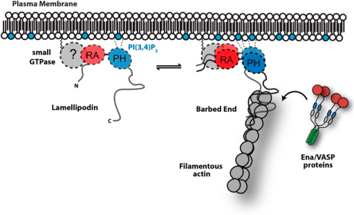 Model.Based on the canonical model (Krause et al., 2004), Lpd is recruited to actin based membrane protrusions through interactions with phosphatidylinositol lipids (i.e., PI(3,4)P2) and possibly small GTPases (i.e., Ras or Rho family). Similar to the Grb protein family, Lpd is predicted to form homo-dimers mediated by interactions between the coiled-coil and tandem RA-PH domain. We find that the C-terminus of Lpd (residues 850–1250) is sufficient for recruiting Lpd to leading edge membrane where it directly interacts with free barbed ends and/or the sides of the actin filaments. Importantly, this interaction between Lamelliopodin and filamentous actin can occur independently to those mediated by Ena/VASP proteins or SH3 domains (i.e., Abi1/endophilin). However, Ena/VASP proteins recruited to actin based membrane protrusion can simultaneously associate with free actin filament barbed ends and Lpd. By this mechanism, we speculate that the lifetime of membrane targeted and barbed end associated Ena/VASP proteins are extended at the plasma membrane.DOI:http://dx.doi.org/10.7554/eLife.06585.027