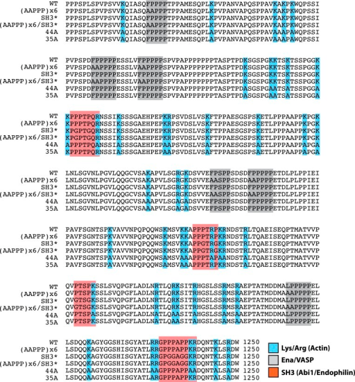 Lpd (850–1250aa) wild-type and mutant protein sequence alignment.Protein sequence alignment of Lpd850−1250aa wild-type and mutants highlighting the separation of function mutations targeting either the actin BD (arg/lys; BLUE), Ena/VASP binding sites (GRAY), or Abi1/Endophilin SH3 domain binding sites (RED).DOI:http://dx.doi.org/10.7554/eLife.06585.016