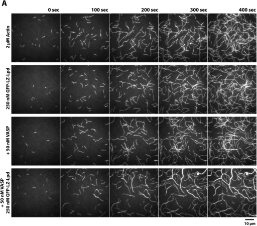 Lpd and VASP synergistically bundle actin filaments.(A) Montage of single actin filaments polymerizing in the presence of 2 µM actin (20% Cy5 labeled) and TIRF buffer containing 100 mM KCl. Compared to actin filaments elongating in the presence of 50 nM VASP (tetrameric concentration) or 250 nM GFP-LZ-Lpd850−1250aa (dimer concentration). The combined presence of VASP and GFP-LZ-Lpd850−1250aa produces large actin bundles. Scale bar, 10 µm.DOI:http://dx.doi.org/10.7554/eLife.06585.024