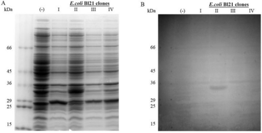 induction of the 6xHis-nicotinamide mononucleotide adenylyltransferase ofTrypanosoma cruzi (TcNMNAT) in total cellular extracts fromtransformed BL21 DE3 cells. A: sodium dodecyl sulfate polyacrylamide gelelectrophoresis on a 10% gel stained with Coomassie dye; B: western blot withalkaline phosphatase. The lanes include the molecular weight marker (kDa),induced negative control with a nontransformed strain (-) and differentinductions of transformed cells with the expression vector pET100D-TOPO-6xHis-TcNMNAT (BL21 clones I, II, III and IV).