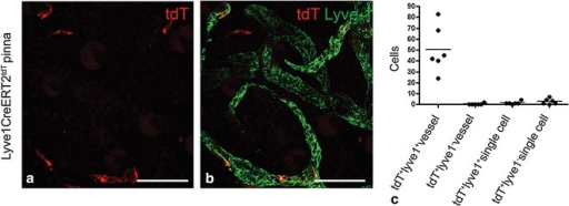 Expression of tdT fluorescence in Lyve1CreERT2tdT pinna following low dose 4-OHT administration. Three weeks after 0.25 mg 4-OHT was administered to 6 Lyve1CreERT2tdT mice, the pinnas were harvested and labeled with antibodies to LYVE-1. Maximum intensity projection images obtained using confocal microscopy were used to determined the targeting specificity of the transgene. 2 images from each mouse pinna were analyzed. Using images similar to the image shown in a, tdT+ cells were quantified. Using images similar to that shown in b, it was determined whether the tdT+ cells were LYVE-1+ or LYVE-1– and whether these cells were a constituent of a lymphatic vessel. Most of the tdT+ cells were LYVE-1+ and were constituents of lymphatic vessels (93 %). Some of the tdT+ cells were LYVE-1+ or LYVE-1− and physically separated from a lymphatic vessel (7 %) (b,c). The histogram is data pooled from fields obtained from 6 similarly treated Lyve1CreERT2tdT mice. The size standards are 50 µm