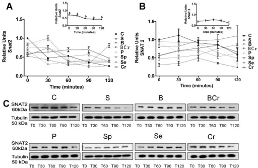 mRNA gene expression and Western blot analysis of SNAT2 in liver of healthy rats fed different types of dietary protein: (A) Snat2 mRNA abundance; (B) protein abundance of Snat2; and (C) representative immunoblot of SNAT2. Values are means ± SEM, n = 3. Different letter superscript indicates significant differences among different times of feeding, p < 0.05, a > b > c.