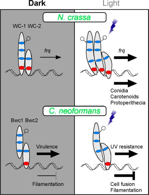 A Model of How Two Fungi May Respond to LightThe Bwc1-Bwc2 interaction of C. neoformans shares conserved features with the WC-1-WC-2 interaction of N. crassa but also exhibits unique functional characteristics. In this model, C. neoformans Bwc1-Bwc2 bind to DNA in the dark and act as weak repressors to reduce filament development. We hypothesize that photons perceived through a proposed flavin moiety on Bwc1 cause a conformational change that increases repression of filament formation and cell fusion, and activates transcription of genes required for UV resistance. Alternatively, UV sensitivity may be mediated through repression by Bwc1-Bwc2 of a repressor protein. The N. crassa model is simplified from [3]: a complex of two units of WC-1 forms in response to light to cause an initial up-regulation of frq transcription above the levels occurring in the dark (FRQ feedback inhibits the White collar complex). The complex also increases transcription of genes required for other processes.