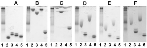 Affinity electrophoresis of soluble CBM-variants. Affinity electrophoresis performed in the absence of a ligand (A) or in the presence of 0.2% (w/v) oat spelt xylan (B), 0.1% (w/v) arabinoxylan (C), 0.05% (w/v) barley β-glucan (D), 0.1% (w/v) lichenan (E) or 0.05% (w/v) non-fucosylated xyloglucan (F). Samples included: lane 1, Kaleidoscope prestained standard; lane 2, wt CBM4-2; lane 3, X-2; lane 4, X-6; lane 5, X-13.