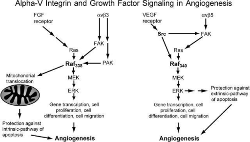 bFGF/αvβ3 and VEGF/αvβ5 signaling pathways. A summary of the signaling pathways outlined in this report as it relates to EC cell survival as recently described in Alavi et al. (2003). Evidence presented here reveals that bFGF/αvβ3 and VEGF/αvβ5 differentially activate Ras-Raf-ERK signaling. This, together with our recent work (Alavi et al., 2003), allows us to propose a model whereby each of these signaling pathways accounts for protection of EC from distinct mediators of apoptosis. The αvβ3 pathway promotes an ERK-independent survival mechanism preventing stress-mediated death based on Raf coupling to the mitochondria, whereas the αvβ5 pathway prevents receptor-mediated death in an ERK-dependent manner. In addition, ERK is likely playing a general role in both pathways of angiogenesis because it regulates gene transcription, cell cycle progression, and cell migration, which are critical to the growth and differentiation of new blood vessels.