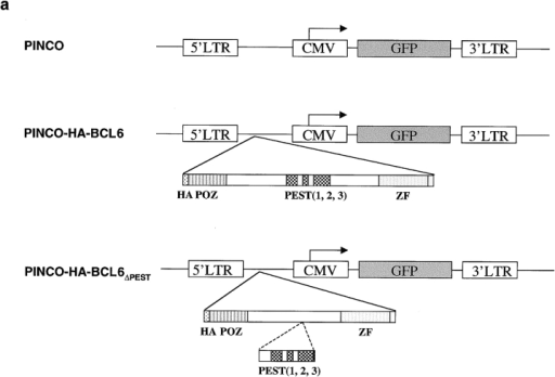 Constitutive expression of exogenous BCL6 in Ramos cells transduced with PINCO retroviral vectors. (a) Schematic representation of PINCO, PINCO-HA-BCL6, and PINCO-HA-BCL6ΔPEST viral vectors. (b) Northern (left panels) and Western (right panels) blot analysis of endogenous (endo) and exogenous (exo) BCL6 expression in Ramos cell clones transduced with PINCO, PINCO-HA-BCL6, and PINCO-HA-BCL6ΔPEST after treatment with CD40L for the indicated time. The β-actin expression was analyzed as a control.