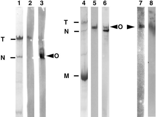 Detection of obscurin by Western blotting. (A) The polyclonal antibody α-Ob48–49 against obscurin detects a large protein of approximately the same size as nebulin in striated muscle. Lanes 1, 2, and 3: human Vastus lateralis muscle sample run on 3% polyacrylamide gel. Lane 1, Coomassie stain of a lane from the gel; lane 2, titin detected with S53 monoclonal antibody on a Western blot of one lane from the same gel; lane 3, obscurin detected with α-Ob48–49 polyclonal antibody on a Western blot of an adjacent lane. Note, titin and nebulin were well blotted and their positions are marked on the blot. Titin is resolved as a single band. Obscurin is detected slightly above the position of nebulin as marked on the blot. Lanes 4–7, human Vastus lateralis muscle sample run on 4% polyacrylamide gel. Lane 4, Coomassie stain of a lane from the gel; lane 5; obscurin detected with α-Ob48–49 on a lane cut from of a Western blot of the same gel; lane 6, the same blot as lane 5 stripped and reprobed with antinebulin NSH3-ra. Note, blots have been accurately aligned and obscurin can be distinguished from nebulin. The α-Ob48–49 antibody has not been completely stripped from the blot, so, in lane 6 there is some carry over of the obscurin signal appearing just above the darker nebulin band. Lane 7, obscurin detected with α-ObDH; lane 8, human cardiac muscle sample run on a 4% polyacrylamide gel. Obscurin detected with α-Ob48–49 on a Western blot. Note, a protein of a similar size is detected in cardiac and skeletal muscle. M, myosin; T, titin; N, nebulin; O, obscurin.
