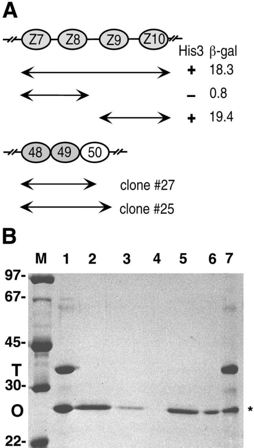 Binding of titin and obscurin in yeast two-hybrid system and in vitro. (A) Yeast two-hybrid analysis of the interaction between obscurin and titin. Titin domains Z7–Z10 (depicted as ovals) which were used as the primary two-hybrid bait is shown. One of the interacting clones obtained (clone no. 27) was used to further map the binding site on titin. The region Z9–Z10 interacted as strongly as the original bait whereas Z7–Z8 did not interact in this assay. Interactions were assayed by cotransformation of bait and prey plasmids into L40 yeast cells and monitoring reporter gene activation. His3 gene activation is marked as +/− and β-galactosidase activity is given as arbitrary units from liquid assays. Further separation of either titin Ig domains Z9 and Z10 or obscurin Ig 48 and 49 abolishes the interaction, demonstrating that the tandem domains of both proteins are required to form a functional binding site. (B) In vitro binding of titin to obscurin. The histidine-tagged titin fragment Z9–Z10 was assayed for binding to an untagged obscurin fragment Ig48–49 on mini Ni-NTA agarose columns. Lane 1 shows a mixture of both proteins as used in the assay. Either such a mixture of both proteins (lanes 5–7), or the obscurin fragment alone (lanes 2–4), were loaded on the column. The obscurin fragment is retained on the column when mixed with the titin Z9–Z10 (lane 7, asterisk), whereas there is no unspecific binding (lane 4). Lanes 2 and 5, flow through fractions; lanes 3 and 6, wash fraction; lanes 4 and 7, eluate fraction; M, marker lane (sizes given in kD). (C) Ob48–51 is targeted to the Z-disk in neonatal rat cardiomyocytes. The T7-tagged fragment was transfected into neonatal rat cardiomyocytes and detected by a tag-specific monoclonal antibody at the sarcomeric Z-disk (green), as demonstrated by the counterstain with myomesin at the M-band (red) in the overlay. Occasional weak M-band localization can also be observed (arrowhead). Overexpressed protein is also accumulating in the nuclei. Note that expression of Ob48–51 does not disrupt myofibrils. Bar, 8 μm.