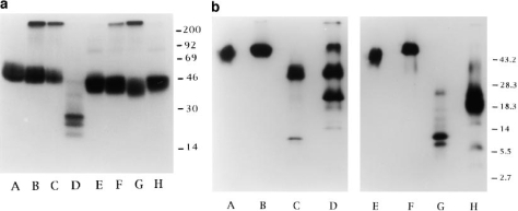 Triggering of cytolytic activity and molecular characteristics  of the novel 46-kD NK cell surface molecule. (a) The NK clone SE192,  used for mice immunization, was analyzed in a redirected killing assay  against P815 target cells in the presence of graded amounts of BAB281  (▴), c127 (anti-CD16) (○), or c218 (anti-CD56) (▪) mAbs. All these  mAbs are IgG1. (b) NK cell populations derived from donor E.C. (lanes A  and D) or donor L.M. (lanes B and E) and the NK cell clone 211 derived  from donor F.G. (lanes C and F) were surface labeled with 125I and immunoprecipitated with BAB281 mAb. Samples were analyzed in a 8%  SDS-PAGE under nonreducing (lanes A–C) or reducing (lanes D–F)  conditions. All the mAbs used here were of the IgG1 isotype.