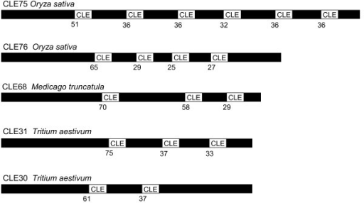 Multidomain CLE sequences. The potential multidomain CLE signaling peptides CLE75, CLE76, CLE68, CLE31 and CLE30 are represented. The figure is a scaled representation of the domain organization. The relative positions of the first amino acid of the motifs are specified.